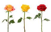 Long Stem Roses isolated on white