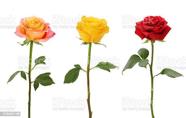 Long stem roses picture id479464148?b=1&k=6&m=479464148&s=612x612&h=ta9d7c6lvk pcckpmx2 wjmcuoguetapa1ygwpq9jdu=