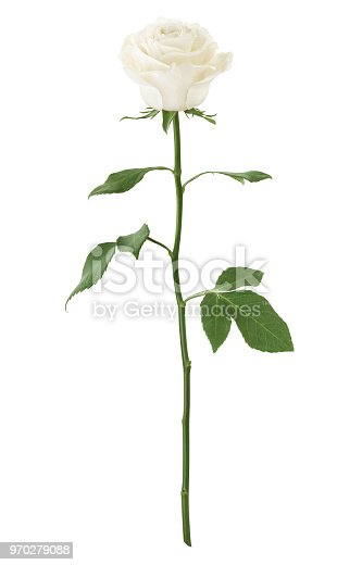 Long Stem White Rose isolated on white