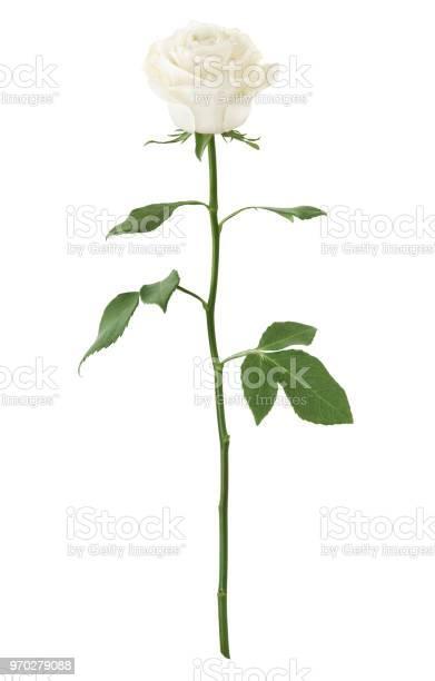 Long stem white rose picture id970279088?b=1&k=6&m=970279088&s=612x612&h=jxmylyrlwpxdombn4hz y35j6dqhc8tnshgxsagsrzy=