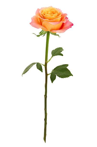 rose à longue tige jaune et rose (path) - objet jaune photos et images de collection