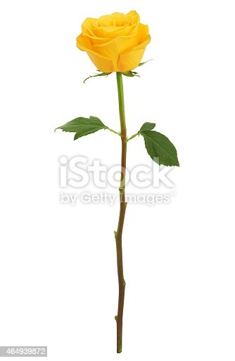 Beautiful Long Stem Yellow Rose isolated on white