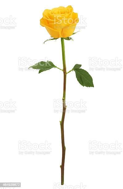 Long stem yellow rose xxxl picture id464939872?b=1&k=6&m=464939872&s=612x612&h=yrstphlqh53zxm gke3lpssifkwa0qlbghnftotsnf0=