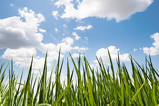 Long strands of green grass in front a cloudy blue sky stock photo