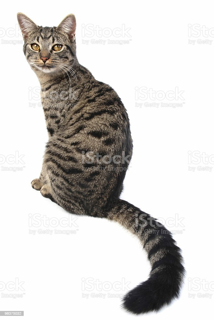 long tail cat royalty-free stock photo