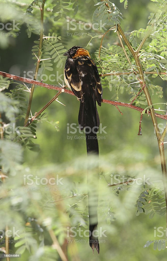 Long Tailed Bird royalty-free stock photo