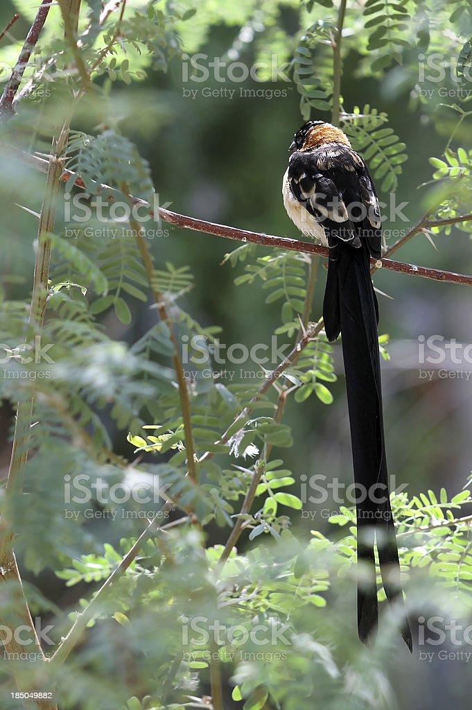 Long Tailed Bird stock photo