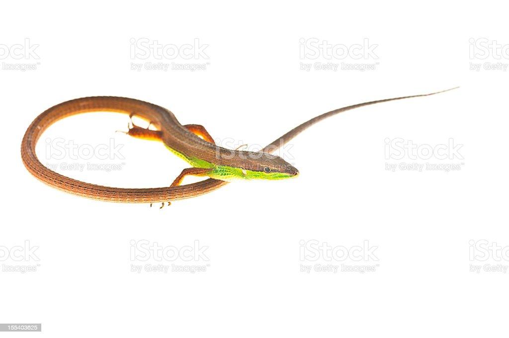Long Tailed Lizard royalty-free stock photo