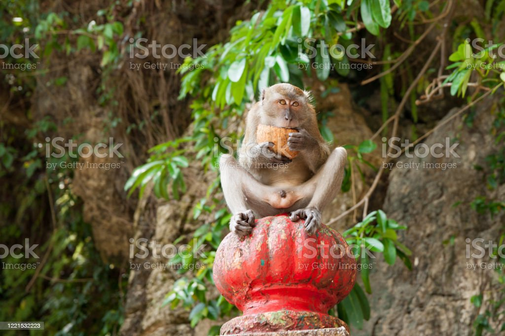 Long tailed macaque holding and open cocnut and eating Long tailed macaque holding and open coconut and eating while looking straight ahead. Animal Stock Photo