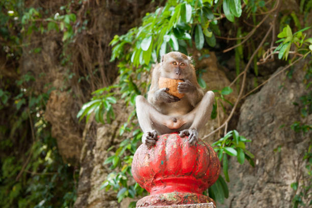 Long tailed macaque holding and open cocnut and eating Long tailed macaque holding and open coconut and eating while looking straight ahead. batu caves stock pictures, royalty-free photos & images