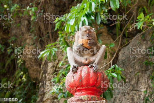 Long Tailed Macaque Holding And Open Cocnut And Eating Stock Photo - Download Image Now