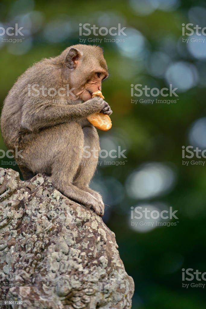 A long tailed macaque monkey eating bread near angkor wat,cambodia stock photo