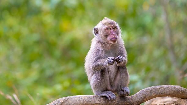 macaco dalla coda lunga - macaco foto e immagini stock