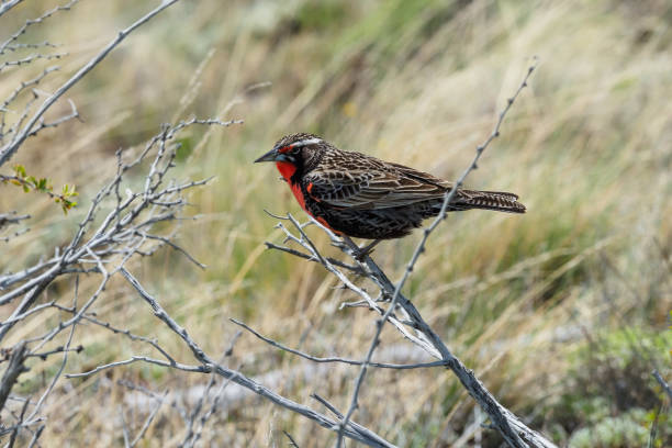 long tailed meadowlark - stephen lynn stock pictures, royalty-free photos & images