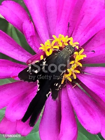 A closeup of a long tailed skipper butterfly feeding on a bright pink zinnia