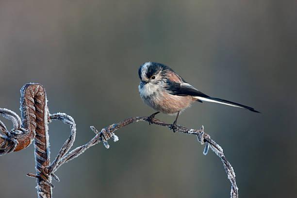 걸리죠 꼬리 박새, aegithalos caudatus - 오목눈이 뉴스 사진 이미지