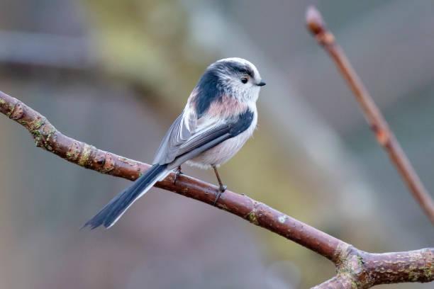 긴 꼬리 가슴 (aegithalos caudatus) - 오목눈이 뉴스 사진 이미지