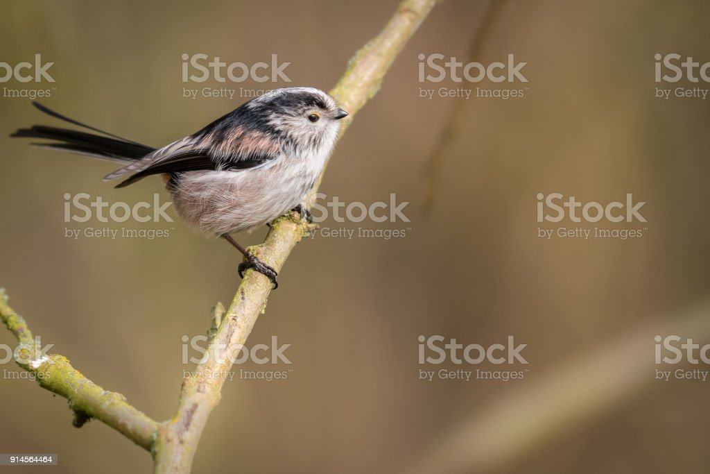 Long Tailed Tit stock photo