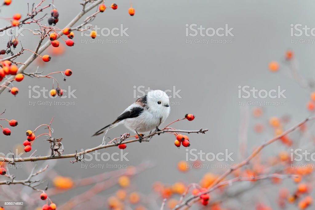 Long tailed tit posing stock photo