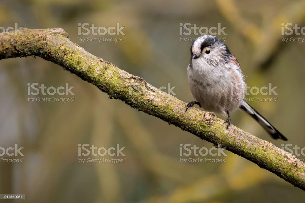 Long Tailed Tit UK wild bird stock photo