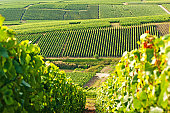 Late summer vineyards of a Premiere Cru area of France showing the lines of vines in the background and diagonal vines in the foreground.