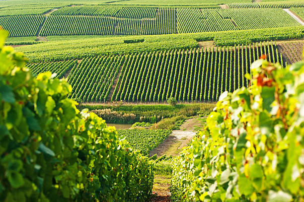 Long view of grape vineyards in Cramant Late summer vineyards of a Premiere Cru area of France showing the lines of vines in the background and diagonal vines in the foreground. epernay stock pictures, royalty-free photos & images