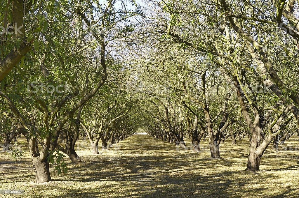 Long view of scenic almond orchard after harvest. stock photo