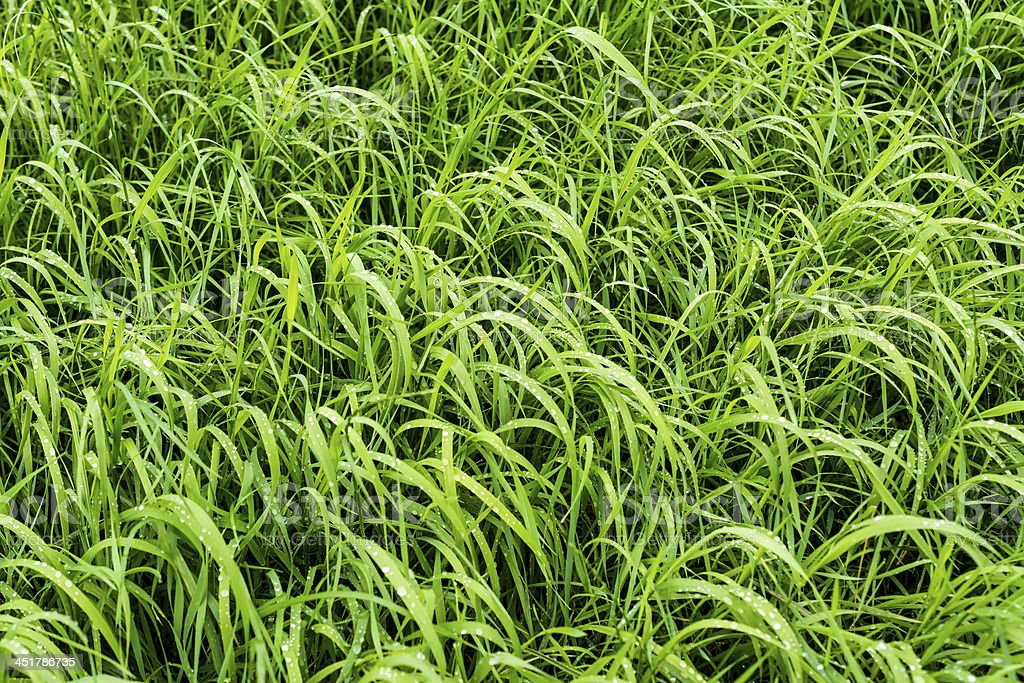 Long Wet grass royalty-free stock photo