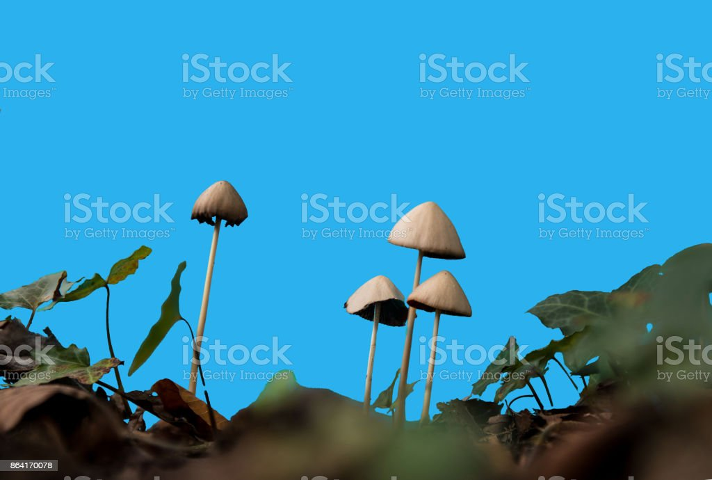 long white mushrooms on a soil royalty-free stock photo