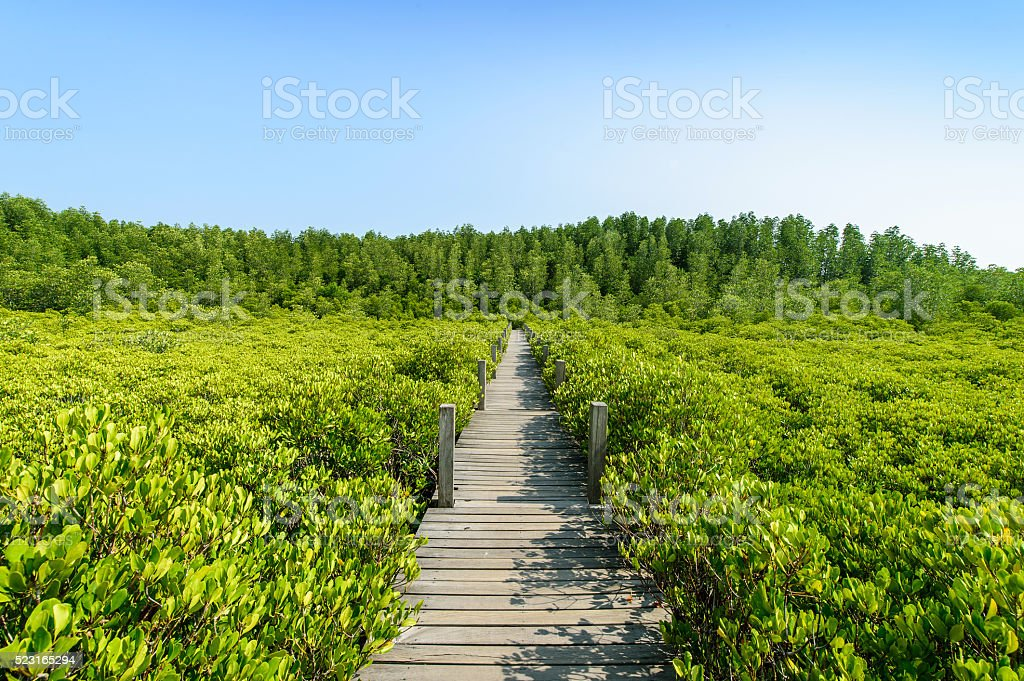 Long wood bridge in mangrove forest, Thailand stock photo