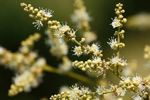 Longan flower stock photo