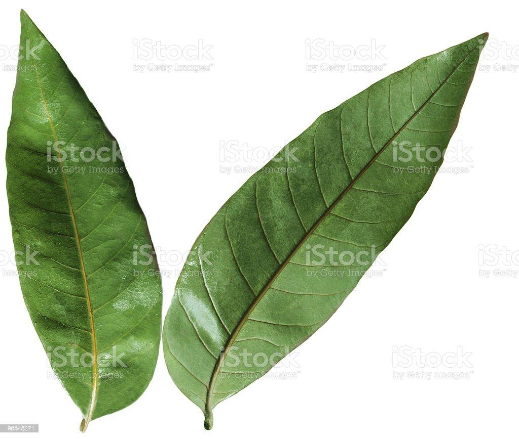 Longan Leaves stock photo