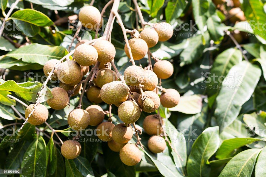 Longan orchards -Tropical fruits longan stock photo