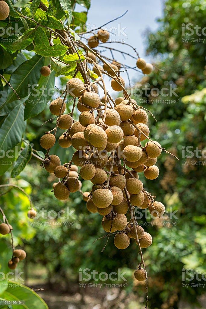 Longan orchards - Tropical fruits young longan in Lamphun, Thailand stock photo
