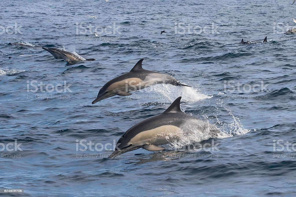 Long-beaked Common Dolphins jumping out of the water stock photo