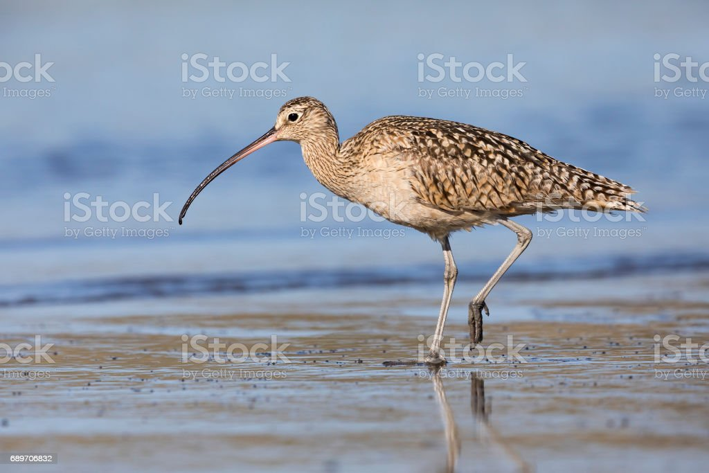 Long-billed Curlew foraging at the edge of an estuary - Monterey...