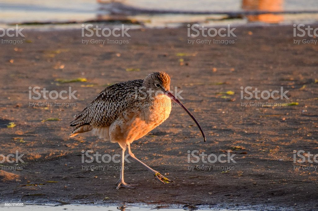Long-billed Curlew on Mission Bay in San Diego stock photo