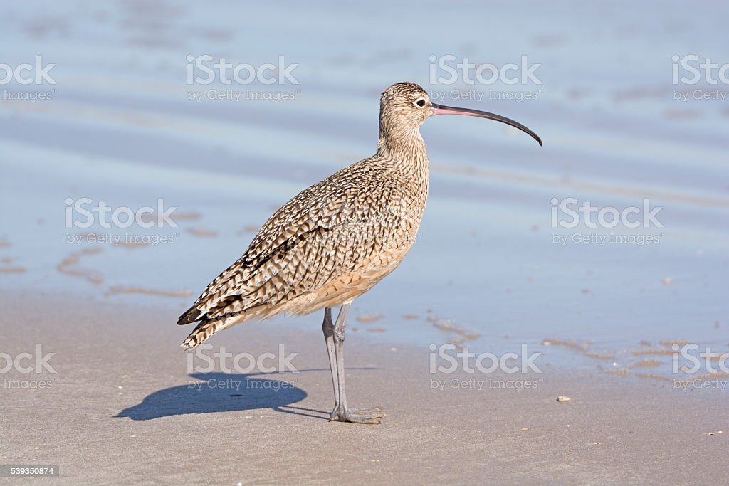 Long-billed Curlew on the Shore stock photo