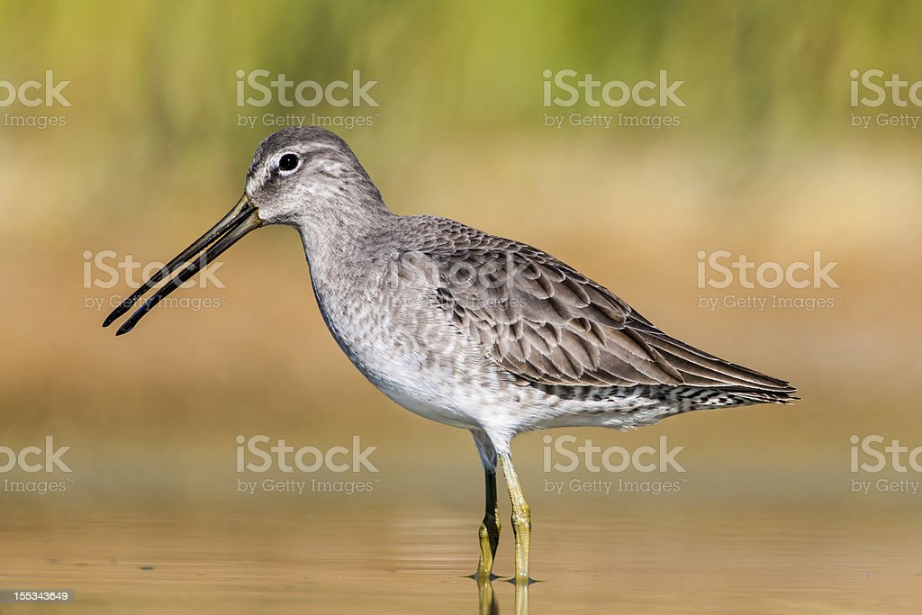 Long-billed Dowitcher (Limnodromus scolopaceus) in Non Breeding Plumage royalty-free stock photo