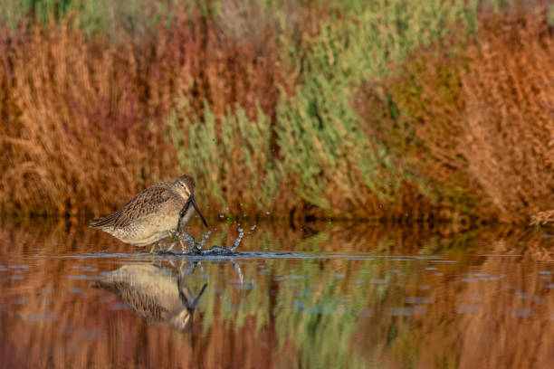 Long-billed Dowitcher with reflection and beautiful background - Limnodromus scolopaceus stock photo
