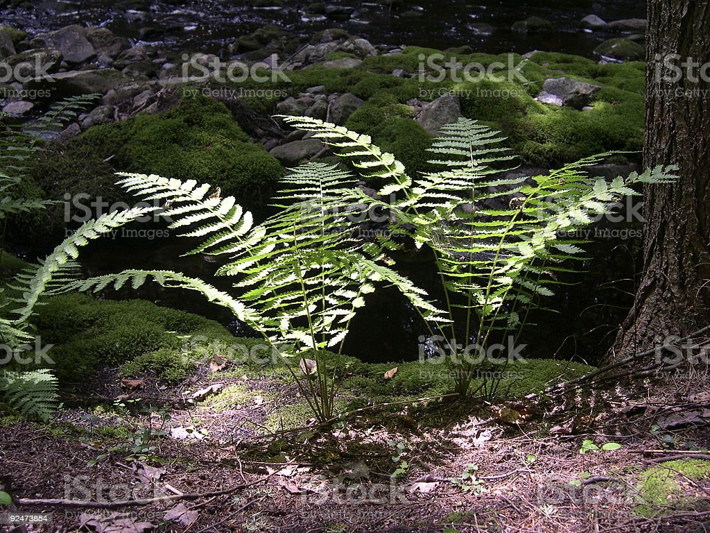 Fern twins stock photo