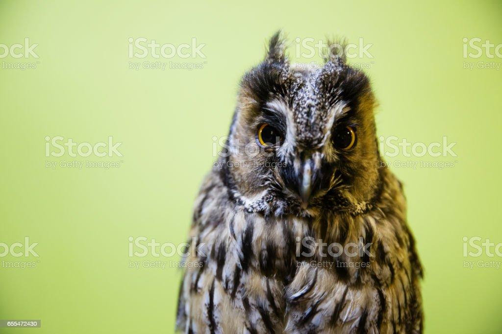 Long-eared owl, Asio otus stock photo