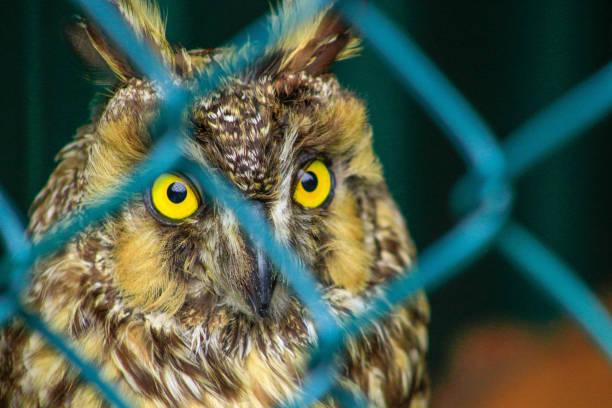 hibou moyen-duc asio otus, oiseaux de la faune. oiseau est derrière une clôture, concept d'animaux en captivité - cage animal nuit photos et images de collection