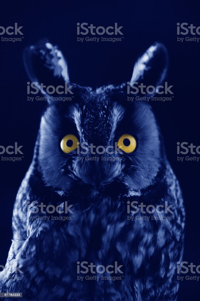 Long-eared Owl at Night stock photo