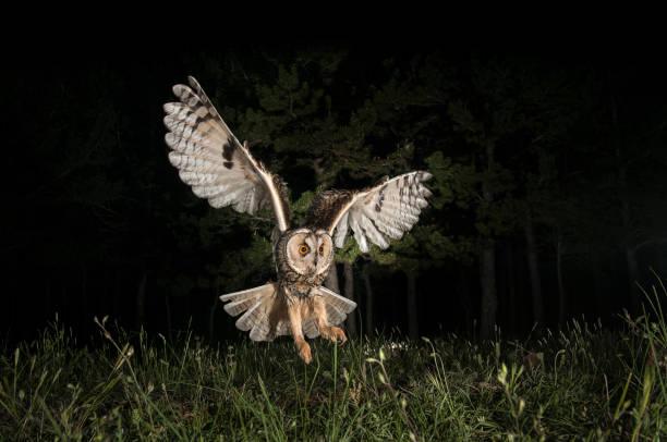 ransuil (asio otus), jacht nachts, tijdens de vlucht, vliegen - ornithologie stockfoto's en -beelden
