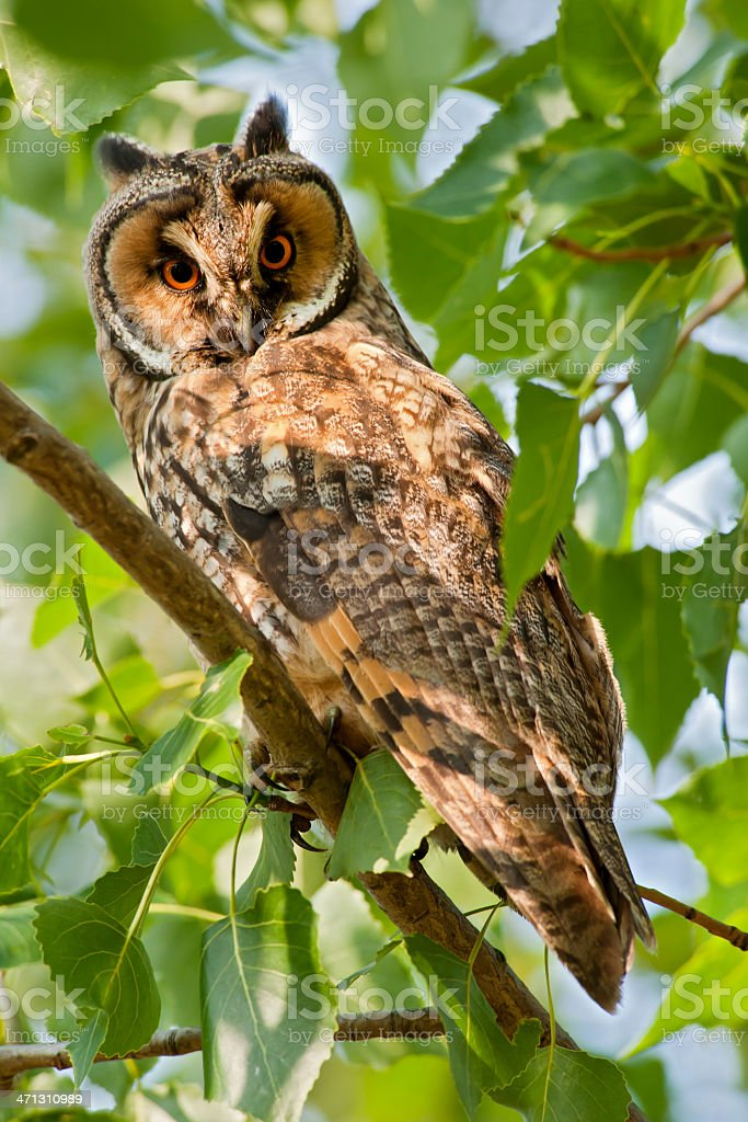 Long-Eared Owl in a tree, wildlife shot royalty-free stock photo