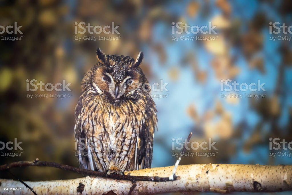 Long-eared owl (Asio otus) stock photo