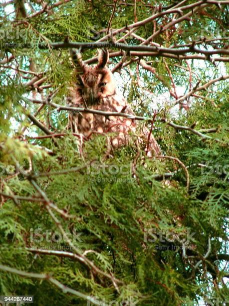 Longeared owl picture id944267440?b=1&k=6&m=944267440&s=612x612&h=kjtwfbaiwlmbfl5yri4 h7mryorsijqhrthela8qgou=