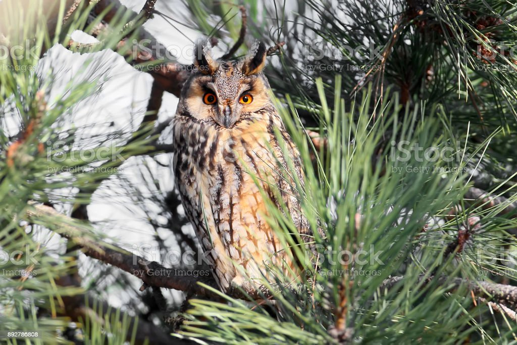 A long-eared owl rests in the dense crown of a pine stock photo