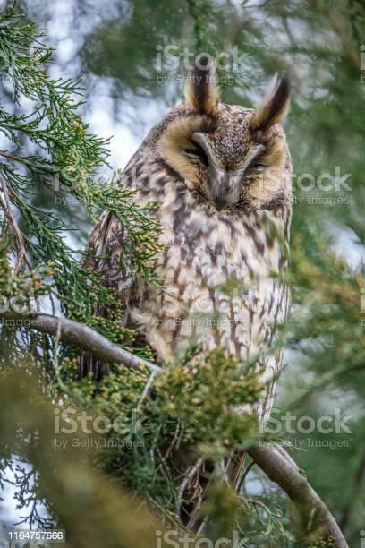 Longeared owl sitting on a conifer tree picture id1164757666?b=1&k=6&m=1164757666&s=612x612&h=pm4acy5hdekmwwmv5n6 vsskl oodbnj2oawiu5k w4=